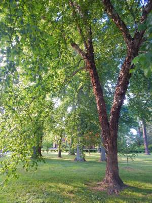 Park Tree Quillman
